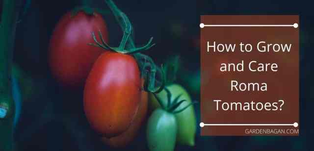 How to Grow and Care Roma Tomatoes