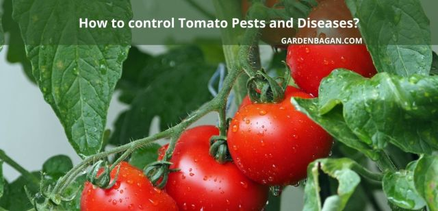 How to control Tomato Pests and Diseases