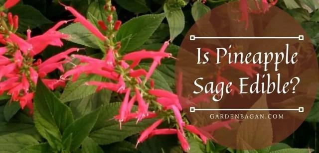 Is Pineapple Sage Edible