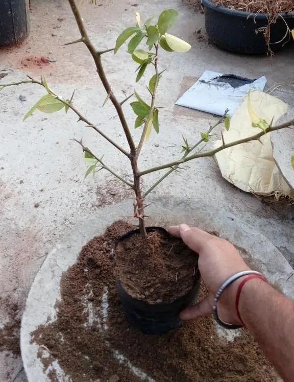 Transplanting Air layered lemon plant