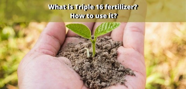 What is Triple 16 fertilizer How to use it