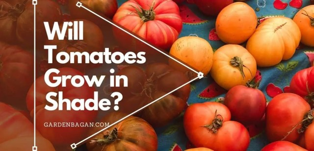 Will Tomatoes Grow in Shade
