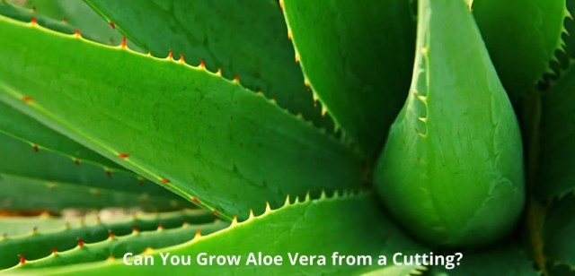 Can You Grow Aloe Vera from a Cutting