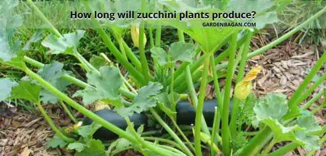 How long will zucchini plants produce
