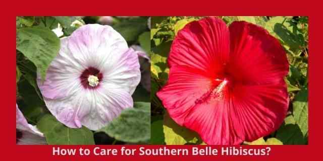 How to Care for Southern Belle Hibiscus