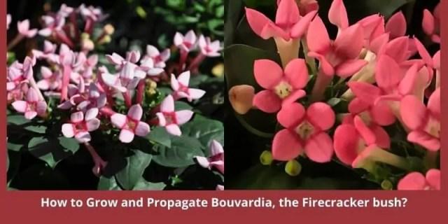 How to Grow and Propagate Bouvardia, the Firecracker bush