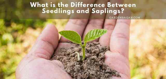 What is the Difference Between Seedlings and Saplings