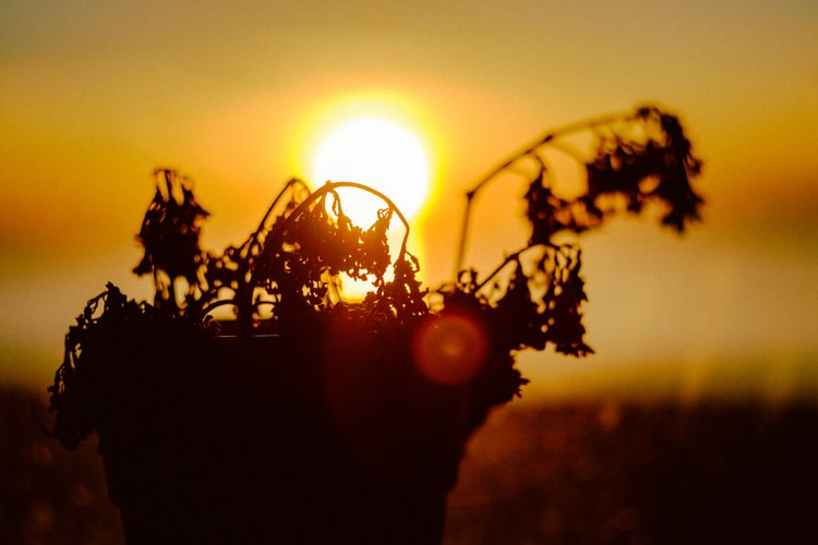 The silhouette of a dying garden plant, the sun shines in the background.