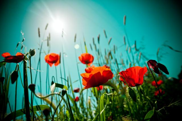Sunlight shining onto red flowers from an aqua blue mid-morning sky.