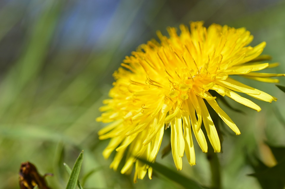 A close up picture of a bright yellow dandelion (a taproot weed).