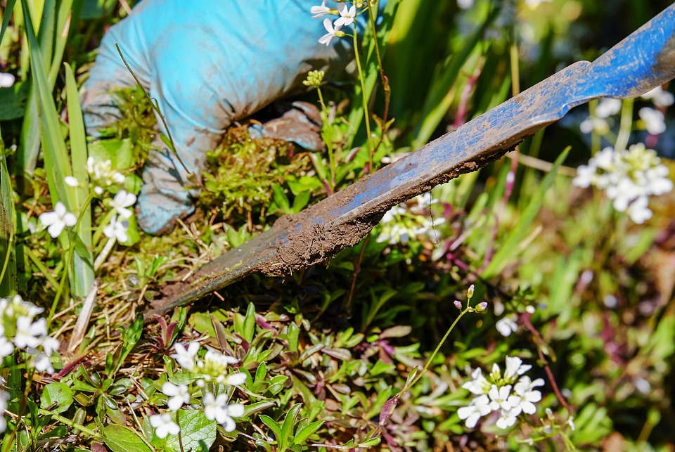 A gardener with a blue glove and a metal tool plucks weeds from the ground near an ornamental plant with white flowers.