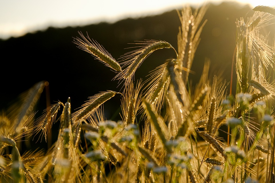A close up of the tops of a wheat crop. The sun is shining down on them.