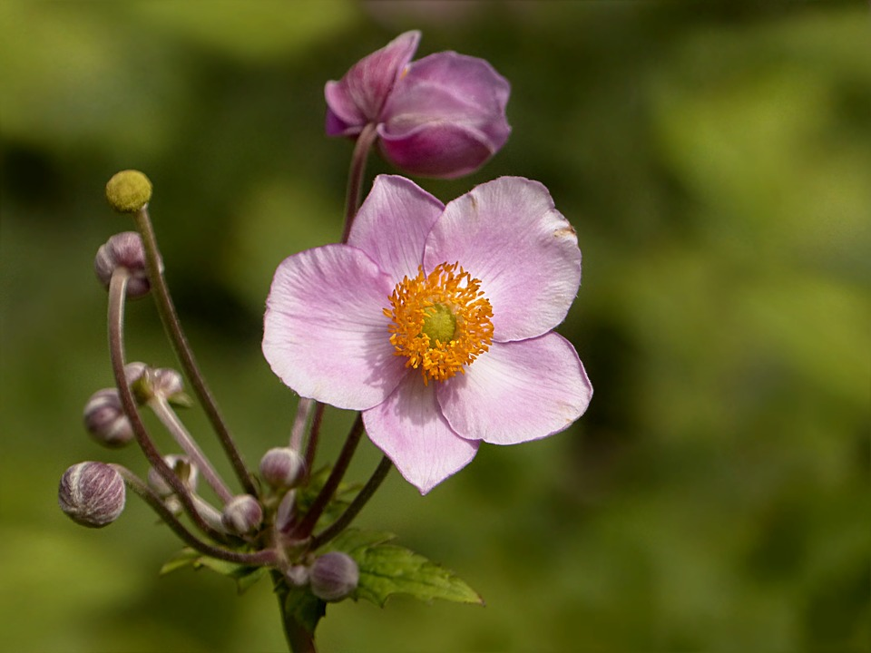 A close up of two beautiful pink and white flowers with five peddles and a yellow and orange center, with several more flowers ready to bloom.
