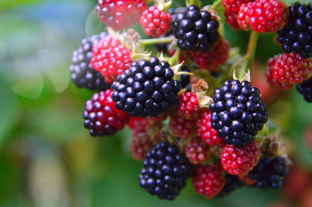 A close-up of a cluster of red and black blackberries growing on a vine.