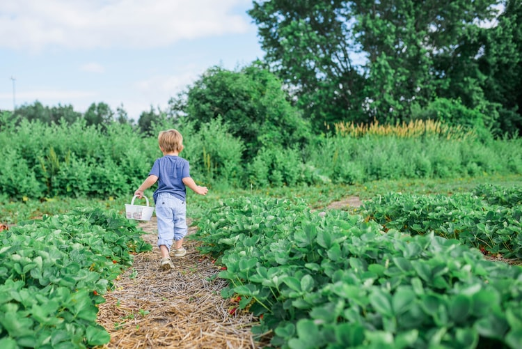 A toddler walks between rows of strawberry plants growing directly in the ground.