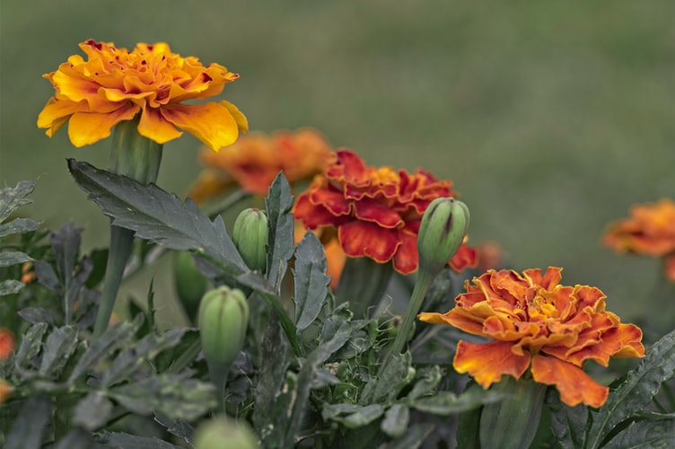 Marigolds, bright orange in color with a splash of yellow around the tips of the petals, several green buds are nearly bloomed as well.