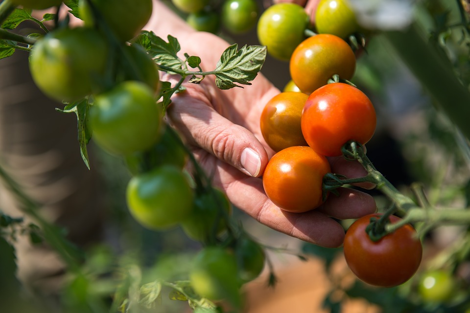 A gardener's hand gently lifting a branch with several red and yellow tomatoes ready for harvesting.