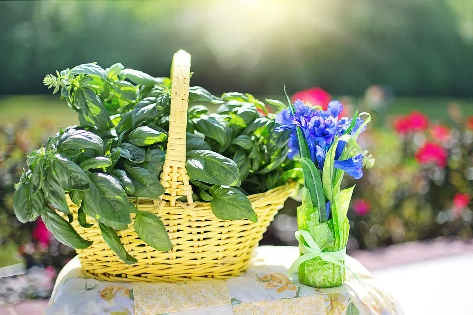 A basket full of freshly picked waxy-green basil leaves and some blue panseys.
