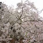 桜の話と動物の話