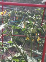 The fruit are starting to set on these - they like the heat of the deck (as long as I keep them well watered)