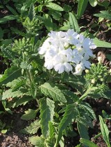 Another of the verbena - I thought I just had purple, but apparently not.