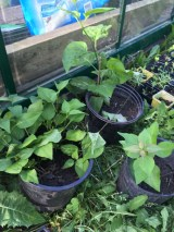 """Here are some slips I dug form a lilac tree that is destined for removal. This way, with five """"seedlings"""" it can be shared and planted in more convenient locations."""
