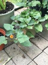 The spillanthe flower - a wierd looking little eyeball, but neat.
