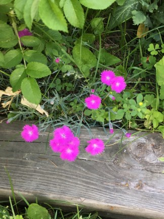 Little bright spots under the roses. Versions of pinks - there are many types.