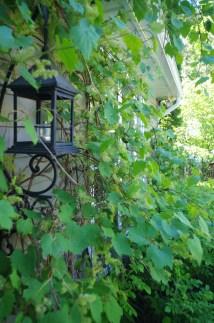 Flowers on the grape vines