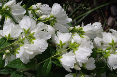 These are the flowers on the mock orange - terrific this spring