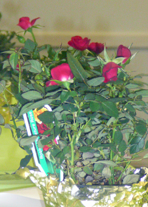 Each officers and committee chairman received a miniture rose plant.