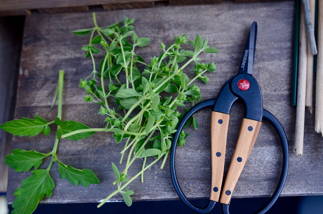 cutting herbs with a barebones herb snipper