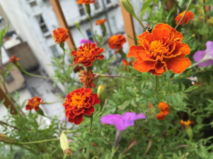 marigolds on a balcony garden with a bee
