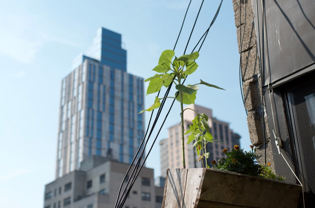 NYC roof garden with a sunflower