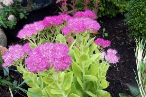Sedum 'neon' - Oriental Garden Supply Llc inside Oriental Garden Supply Rochester Ny