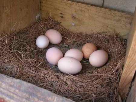 Urban Farming - Backyard Chickens