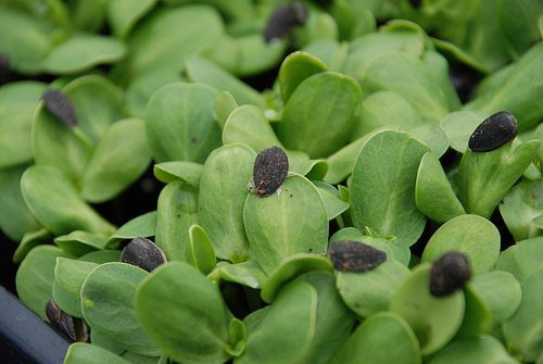 Fast and easy foods to grow your own at home - delicious, nutritious sunflower greens.