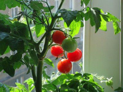 Bountiful Indoor Garden: Organic Seeds or Heirlooms?