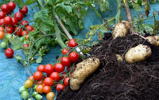 Real Pomato Harvest