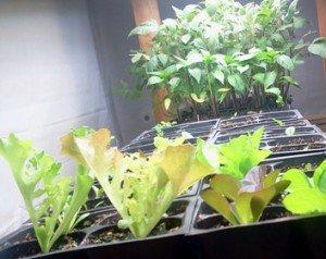 Same Lettuce Grown Under Lights