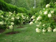 700_leva-garden-hydrangea-trees