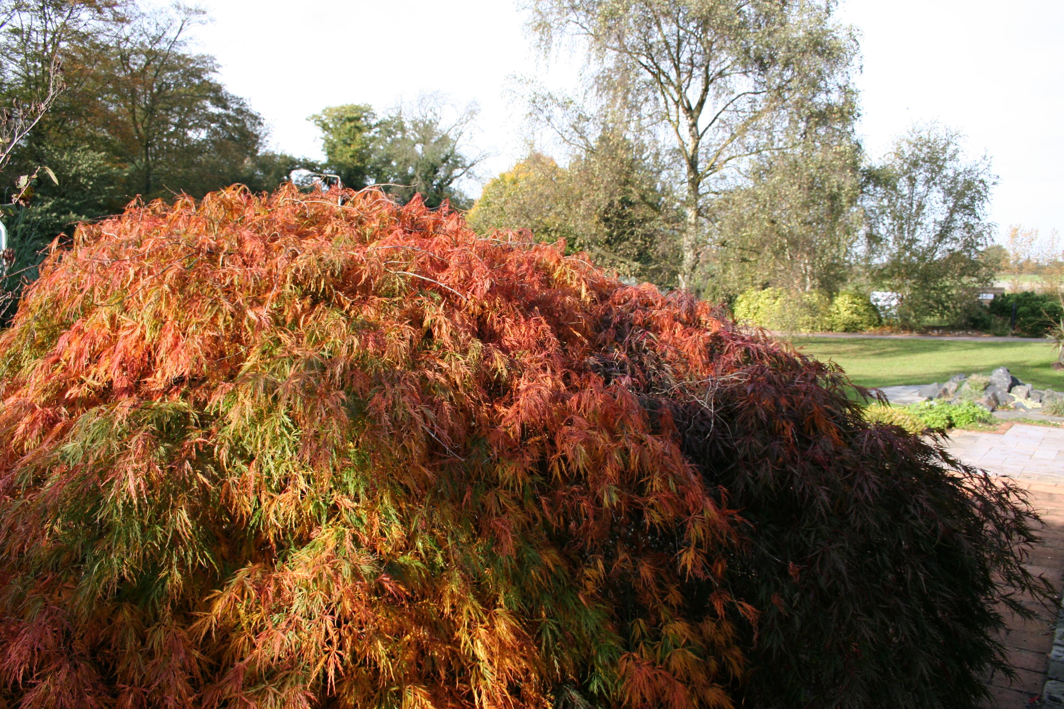 Acer palmatum disectum with autumn colour