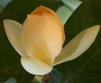 Magnolias Flowers With Divine Fragrance