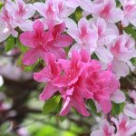 Easy to Grow Perennials : Azaleas