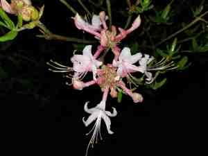 native azalea,close up