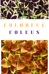 coleus, growing coleus