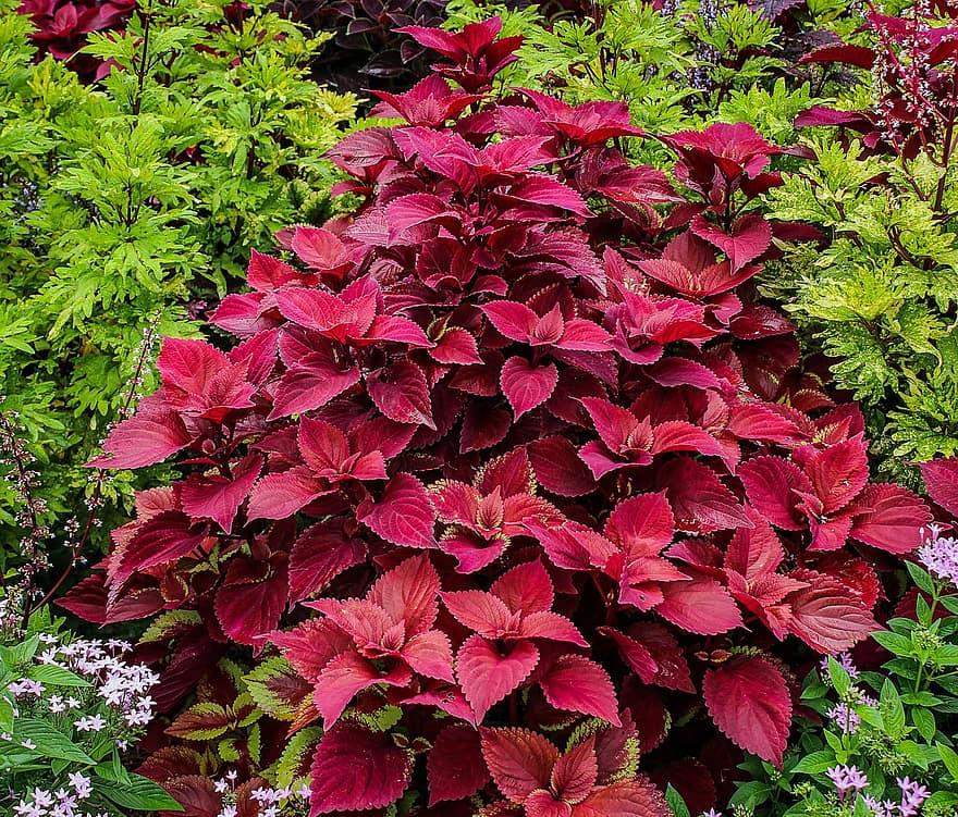 red-coleus-plectranthus-hybrid-coleus-ornamental-plant-coleus-blumei-garden-flower-bed.