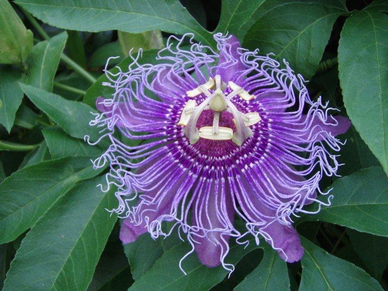 Passion flower, unusual perennial