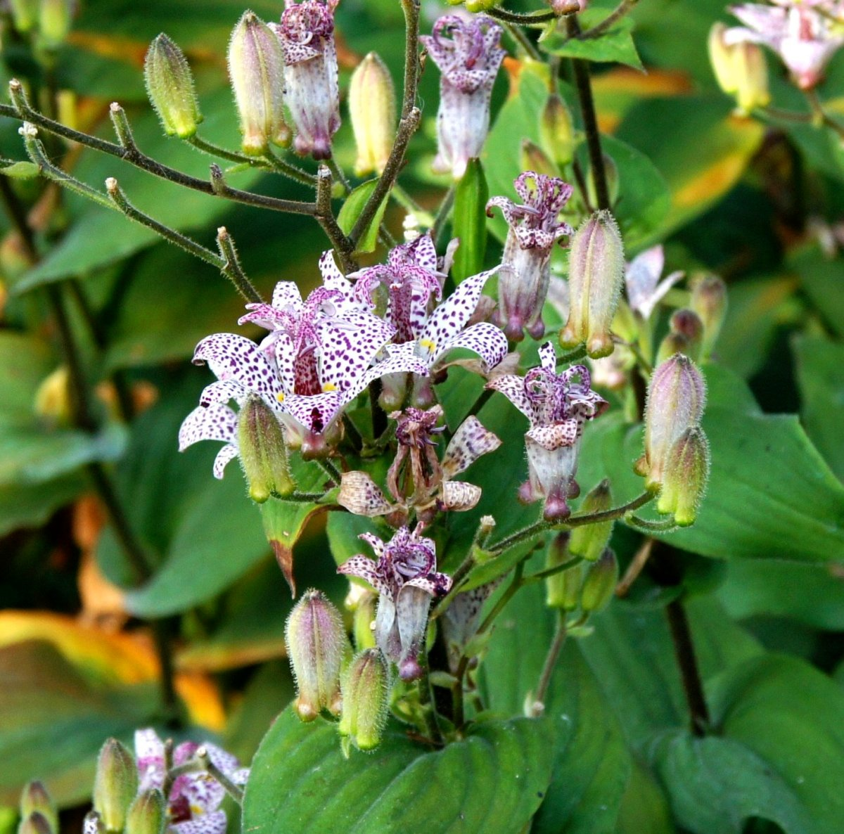 toad lily, unusual perennial