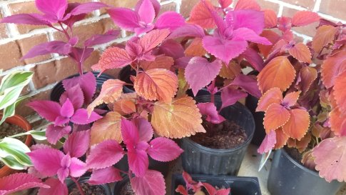 coleus propagation results